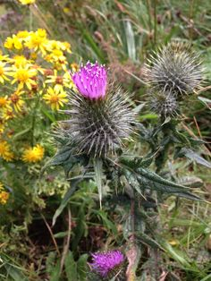 Flower of #Scotland