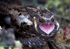Sulawesi Eared-nightjar, Satanic  nightjar, Taktarau iblis (Eurostopodus diabolicus); endemic bird; Caprimulgiformes –Caprimulgidae