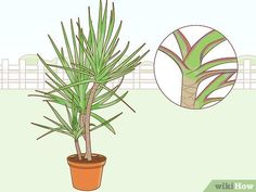 How to Care for a Madagascar Dragon Tree. The Madagascar dragon tree, or Dracaena marginata, is a reliable and low-maintenance indoor plant. If you live in a warm area with extremely mild winters, you can also keep this colorful tree. Poisonous Plants, Edible Plants, Dragon Tree Plant, Dracaena Marginata, Madagascar Dragon Tree, Low Maintenance Indoor Plants, Snake Plant Care, Lucky Bamboo, Plant Identification