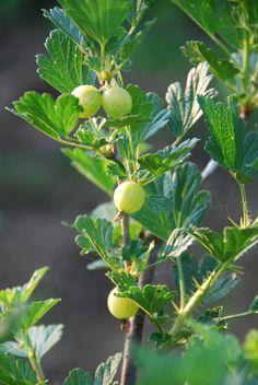 uva espim com frutinhos ainda verdes