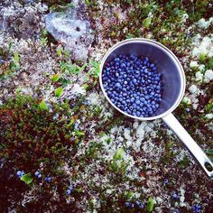 Picked a dipper-full. Newfoundland Recipes, Newfoundland Canada, Newfoundland And Labrador, Best Fish And Chips, Blueberry Picking, Atlantic Canada, Ireland Homes, Wild Blueberries, True North
