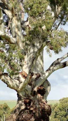 A beautiful old Gum tree in Mansfield, Victoria taken on one our weekends away.