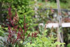 'Montgomery' - Deep red flowers in mid summer. Hardy and full sun. Fine Gardening, Astilbe, Colorful Garden, Goods And Services, Red Flowers, Pavilion, Garden Furniture, Centre, June
