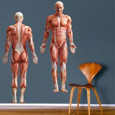 Human Body Wall Mural Decal- Decorate your home or office with the Human Body Mural Decal. SIZES: (Tall x Wide in inches, each order includes both fro Modern Wall Decals, Wall Mural Decals, Removable Wall Decals, Window Decals, Wall Stickers, Muscle Anatomy, Sticker Shop, Sport, Vinyl Art