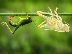 Grasshopper sheds skin in a perfect replica