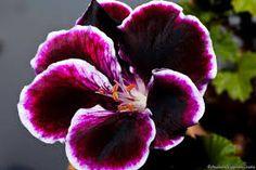 """Résultat de recherche d'images pour """"pelargonium grandiflorum"""""""