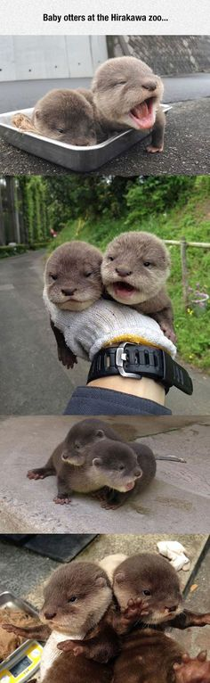 Tiny Baby Otters: