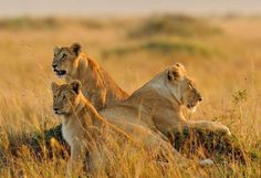 Three lions spotted during 3 Days Masai Mara Group Camping Tour offered by African Sermon Safaris