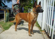 Belgian Malinois - listed as one of the top 10 easiest pets to train.