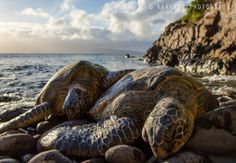 Like honeymooners on the islands, Hawaii's green sea turtles enjoy laying on the beach under the sun, taking in the warmth and cuddling up to each other. This pair was found along the Napili coast on the island of Maui.