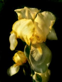 leonardadams: Iris.