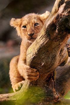 Climbing on the branch (by Tambako the Jaguar)