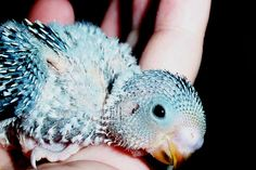 Baby Budgie...baby budgies, cockateils and oarrots are so. Fyuunhy and cute at the same time in their early feather days