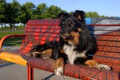 "Buster, Australian shepherd. Stray dog hit by car, broke his femur, metal pin installed by shelter vet.  Fostered with us through ""Herd it Through the Grapevine"" rescue and now in his happily-ever-after furever home. http://www.dawnjusticephotography.com"
