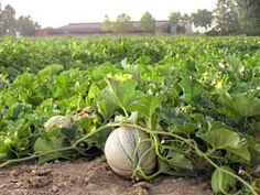 Tips for growing Cantaloupe.  // Great Gardens & Ideas //