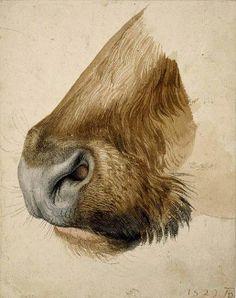 Albrecht Dürer, Muso di toro (1523).