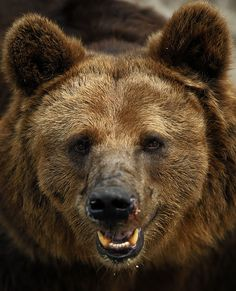 Brown bear by Krain, via Flickr  I know, I know  ...... but I do so want to hug him!  lol