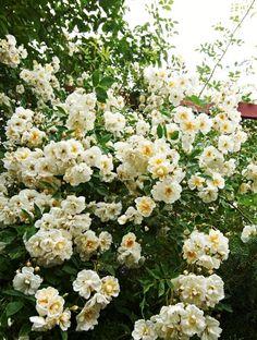 Rosa helenae 'Lyckefund' (Honungsros)
