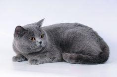Szary, Kot, Brytyjski, Krótkowłosy