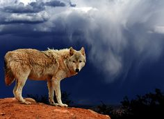 wolf and sky