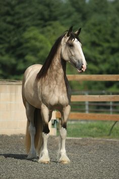 "colourfulequines: "" Freedom's Jolie Prize, one-of-a-kind buckskin Shire mare. Her colour came to be because in the early days of the American Shire Horse Association non-Shire mares were approved for breeding due to the lack of purebred Shires in the..."