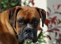s adopt a boxer