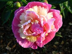peonies-my favorite-along with tulips!