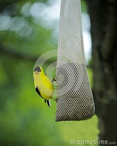 Yellow American Goldfinch at feeder