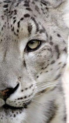 Beauty... Snow Leopard