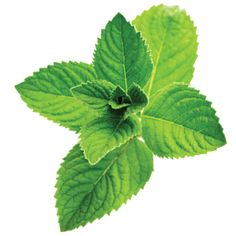 Buy Water Soluble Menthol flavor and other pure flavors from Bulk Apothecary at Wholesale prices. Our Water Soluble Menthol Flavor is great for lip balms and confectioneries. Peppermint Plants, Doterra Peppermint, Growing Mint, E Cigarette, E Liquid Flavors, Herb Recipes, Kraut, Natural Cures, Fresh Herbs