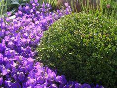 garden landscaping show garden at RHS Tatton by Paperbark Garden Design box ball