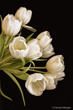 White Tulips   © Carolyn Morgan
