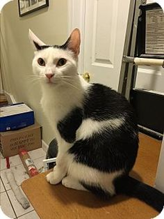 Pictures of Charlie a Domestic Shorthair for adoption in Valley Stream, NY who needs a loving home.