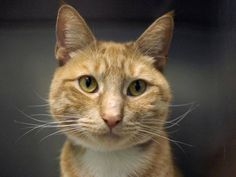 ⚡️⚡️⚡️URGENT⚡️⚡️⚡️TO BE DESTROYED 3/21/15 *NYC* GORGEOUS GINGER! * Brooklyn Center * Upon intake Thomas was very social with a loose body posture and a confident gait. Thomas was displaying good behavior, did not come to the front of the kennel but interacts with the Assessor, appreciates attention, is easy to handle and tolerates all petting. * My name is THOMAS. ID # A1029946. I am a neutered male org tabby and white dom sh mix. I am about 5 YEARS old. OWNER SUR on 03/10/2015 from NY…
