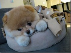 Teacup Pomeranian Puppies For Sale | Click here to see more pics of Little dog bloo!Little Dog Boo