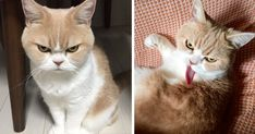 """""""From the dawn of time they came; moving silently down through the centuries, living many secret lives..."""" Meet Koyuki, the Scottish fold cat that is angrier than Grumpy Cat, and with whom Koyuki will no doubt battle one day for Internet supremacy."""