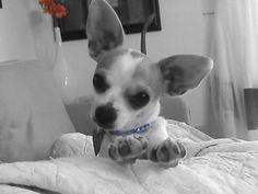 Baby chihuahua flower child