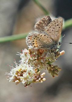 Pacific Dotted Blue - Euphilotes enoptes, near Bassetts, California | by judygva