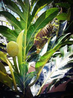 Pana = Bread fruit ~ Puerto Rico