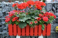 Pokoncna- pelargonija- petunija- verbena- sunsatija- milijon- zvonček-zasaditev-ton-v-tonu Plants, Plant, Planets