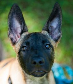 A woman revealed it took DAYS to get her 17 cats and dogs to pose together for a picture Funny Animals, Cute Animals, Funny Pets, Belgian Shepherd, German Shepherds, Belgian Malinois Puppies, Cat Shaming, Different Dogs, Police Dogs