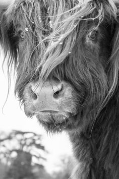 Scottish Highland Cow. Really want to see if I can get one of these in Montana.
