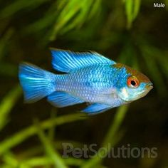 "Mikrogeophagus ramirezi ""Electric Blue Ram"" - color variant of the lovely german ram.  spunky 2-4 inch cichlids, suitable for community. South American."