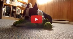 Boston Terrier Dog Nursing his New Toy and Got Poked! (Video) - Watch the Video here → http://www.bterrier.com/boston-terrier-dog-nursing-his-new-toy-and-got-poked-video/ - https://www.facebook.com/bterrierdogs