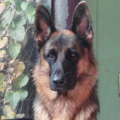 Lost for words  Featured Account @gaesuji  #gsd #germanshepherdsofinstagram #dogs_of_instagram #dog #dogsofinstagram #gsd #germanshepherd @beauty by gsdsofigworld