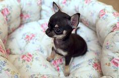 Aw! Chihuahua.