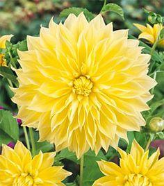 ~~Kelvin Floodlight Dinnerplate Dahlia~~ My husband's favorite dahlia All Flowers, Flowers Nature, Amazing Flowers, Fresh Flowers, Yellow Flowers, Colorful Flowers, Beautiful Flowers, Lilies Of The Field, Dahlia Flower