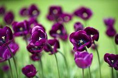 Mauve Tulips Flowers Nature HD Wallpaper
