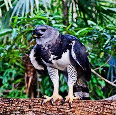 harpy-eagle-belize-picture-id497322383 (612×610) Harpy Eagle, Bald Eagle, Exotic Animals, Exotic Pets, Aigle Harpie, Belize, Wildlife, Owl, Birds