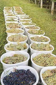 Green and black grapes in white containers in a vineyard. Tuscany, Italy